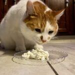 Can Cats Eat Cool Whip? Will it Make Them Sick?